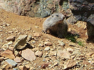 curious marmot wondering about those hikers